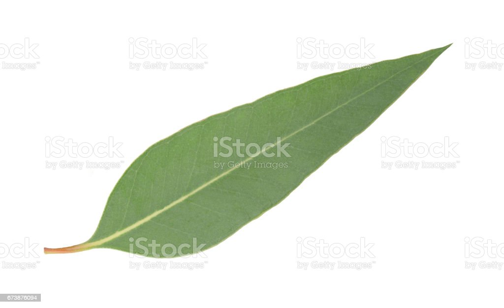 eucalyptus leaf isolated stock photo