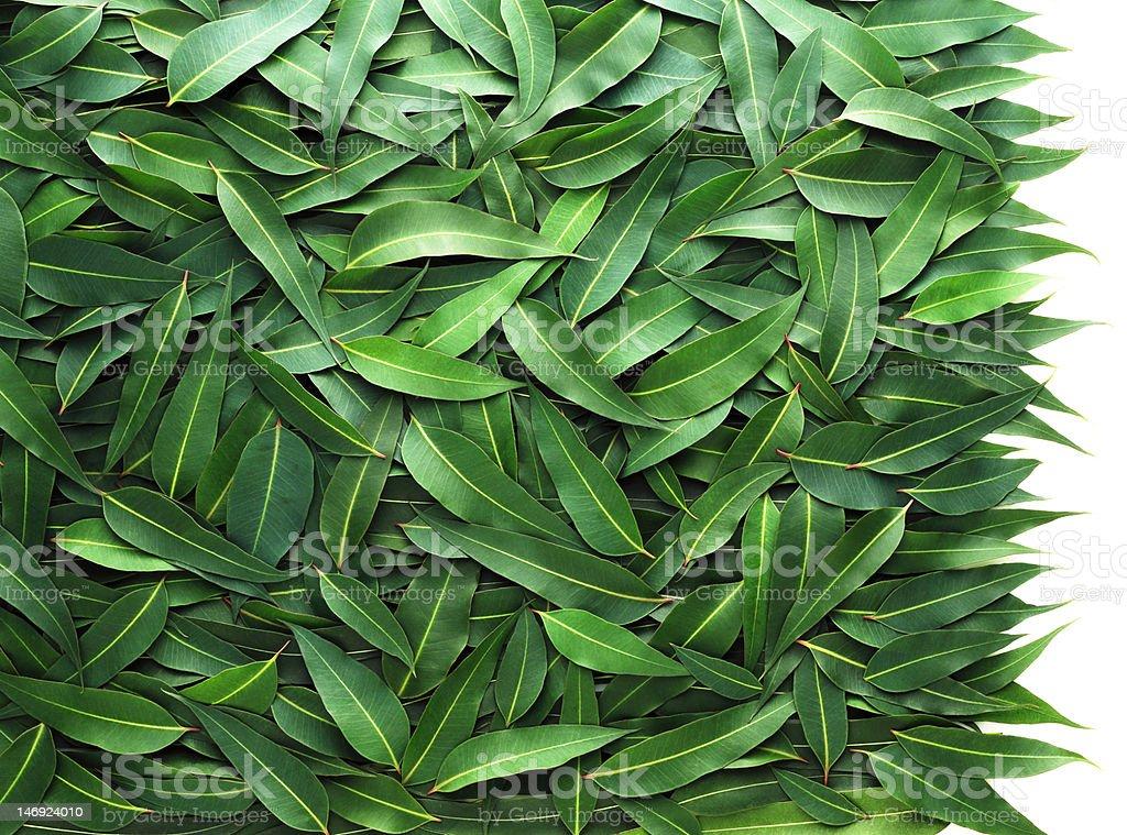 Eucalyptus leaf stock photo
