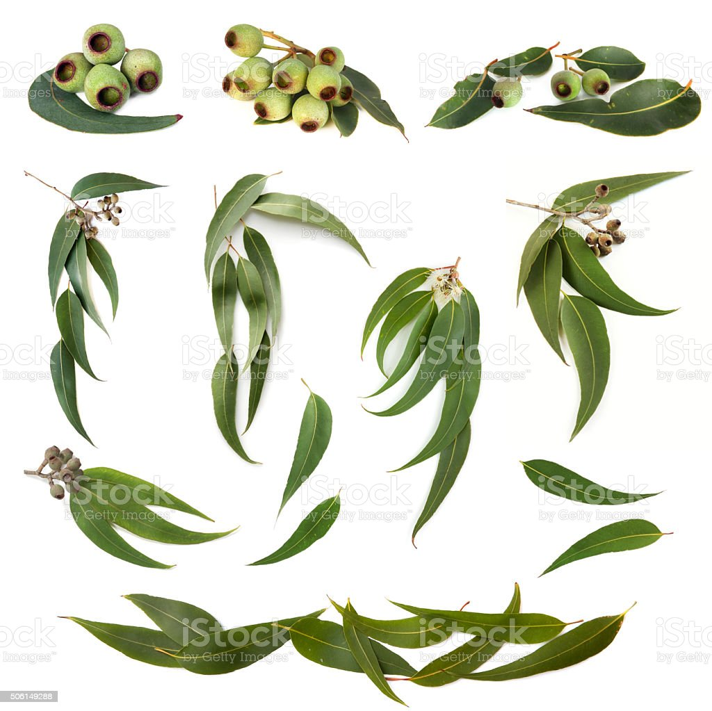 Eucalyptus Leaves Collection stock photo