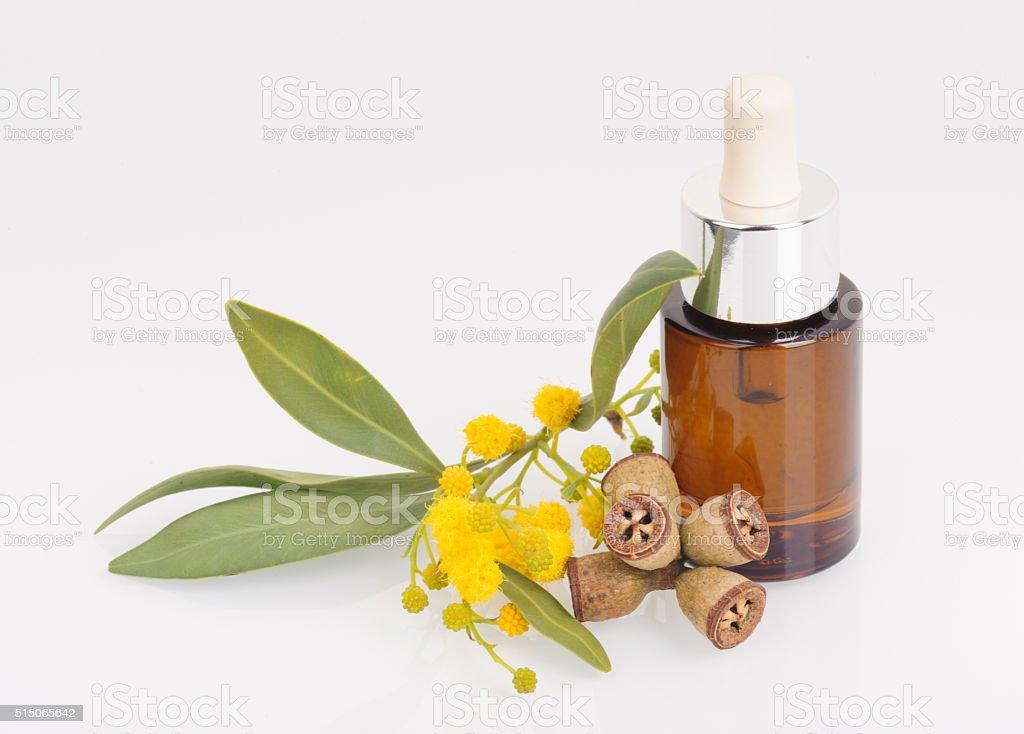 Eucalyptus leaves, flowers and fruit, Eucalypt oil stock photo