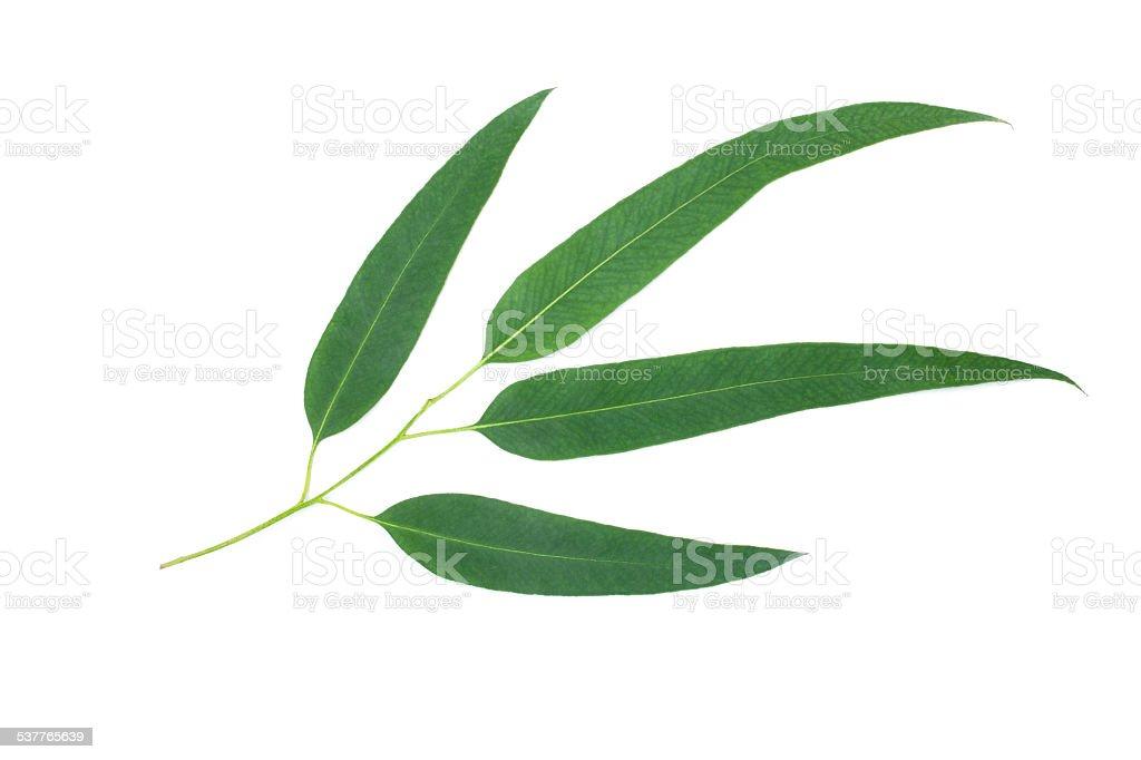 Eucalyptus leaves isolated on white background stock photo