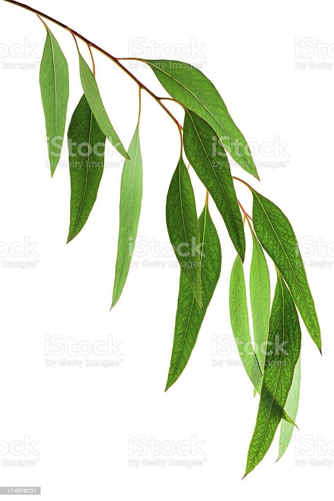 Eucalyptus leaves royalty-free stock photo