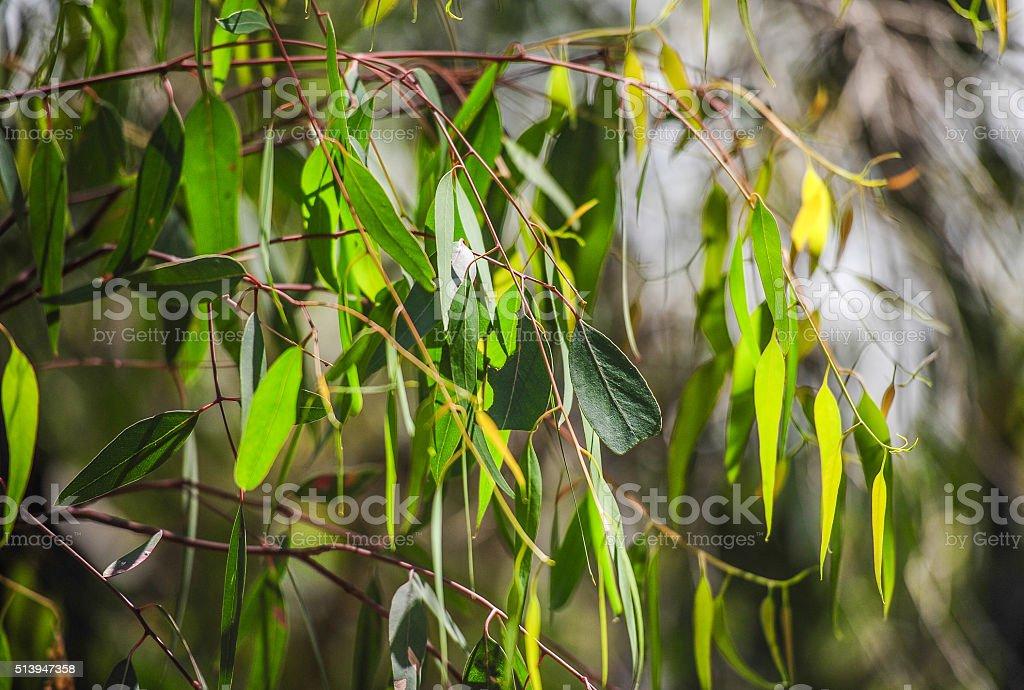 Eucalyptus leaves stock photo
