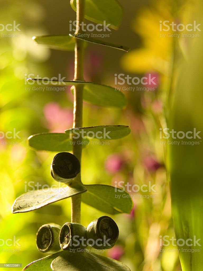 Eucalyptus nature abstract. stock photo