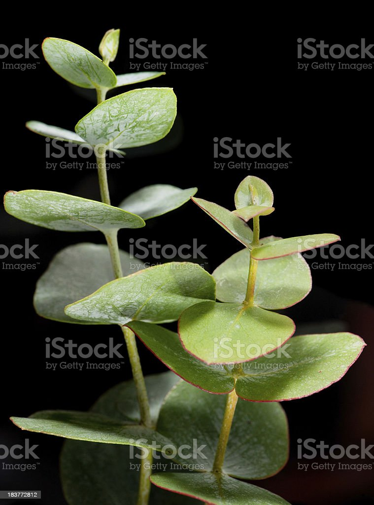 Eucalyptus on Black Background stock photo