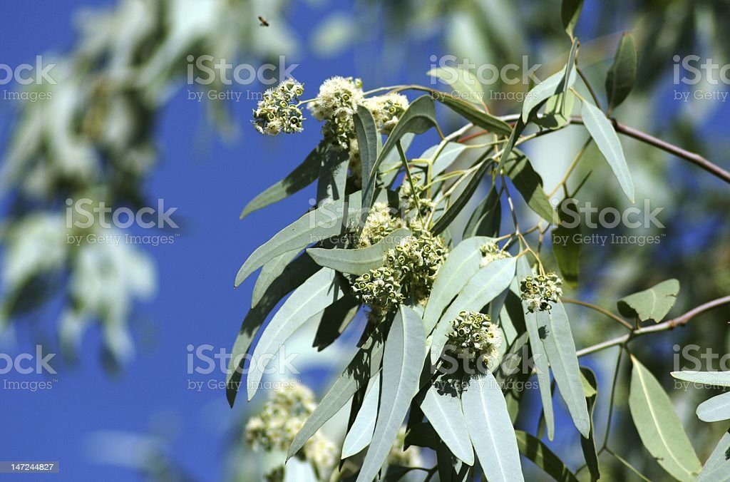 Eucalyptus royalty-free stock photo