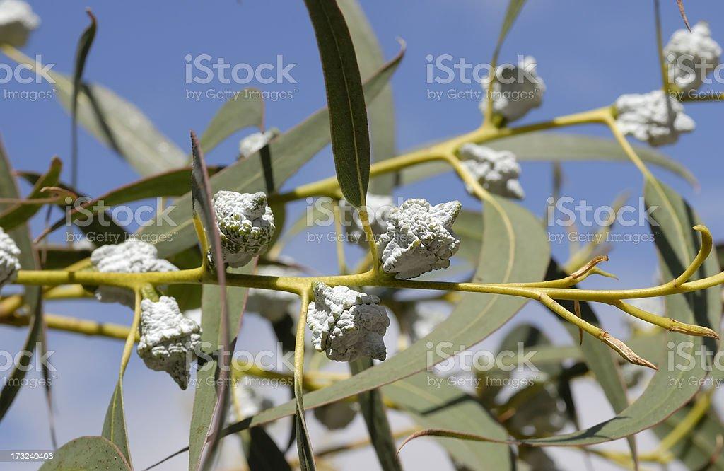 Eucalyptus royalty-free stock photo