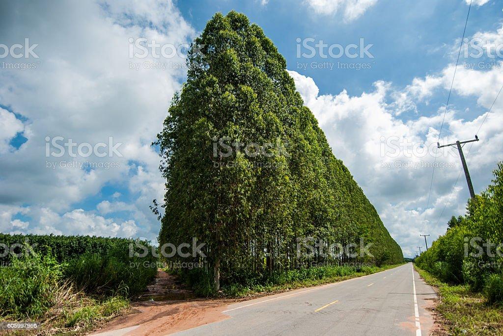 Eucalyptus stock photo