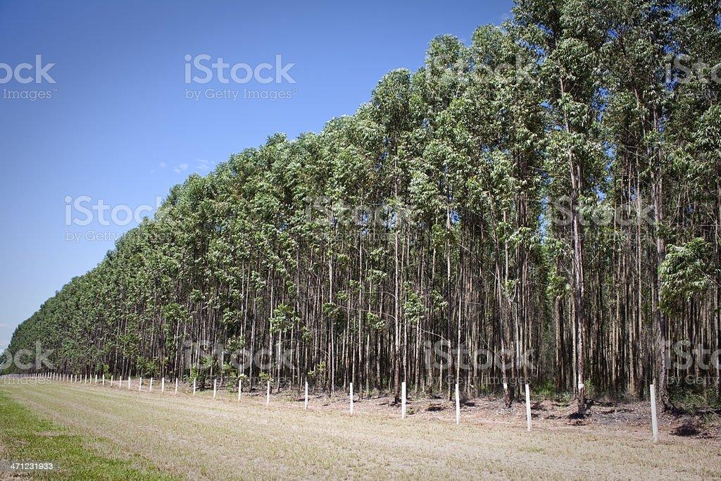 Eucalyptus plantation royalty-free stock photo