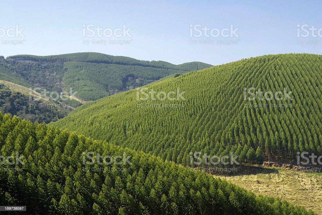 Eucalyptus plantations in Brazil royalty-free stock photo