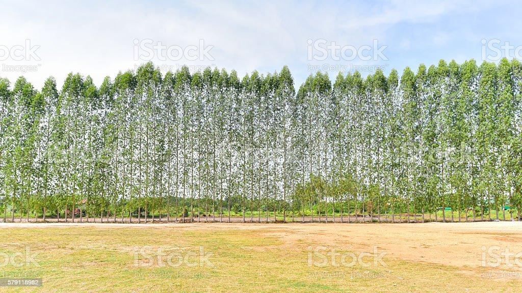 Eucalyptus plants stock photo