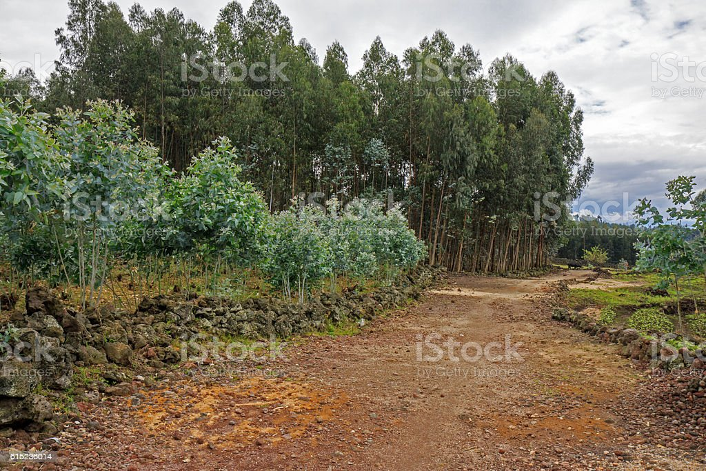 Eucalyptus seedlings and trees in a plantation stock photo