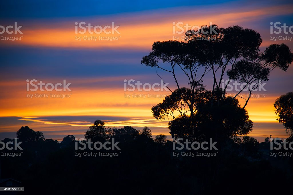 Eucalyptus Silhouette against a Brilliant Dawn stock photo