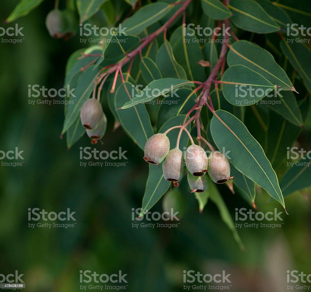 Eucalyptus tree branch stock photo