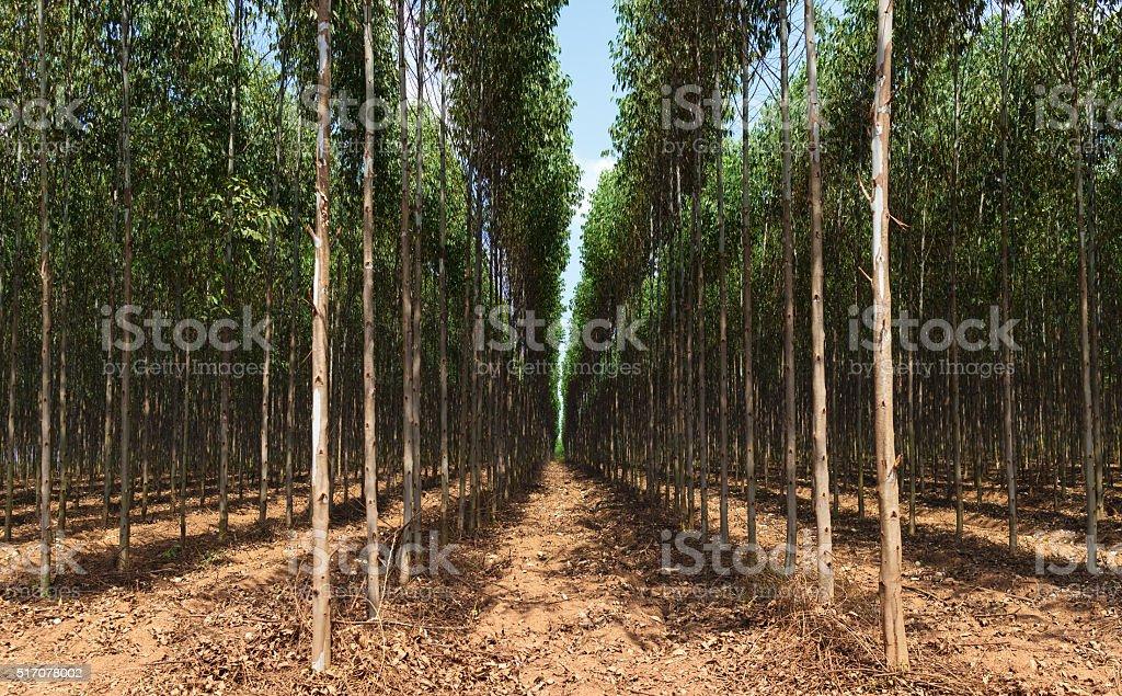 Eucalyptus tree field stock photo