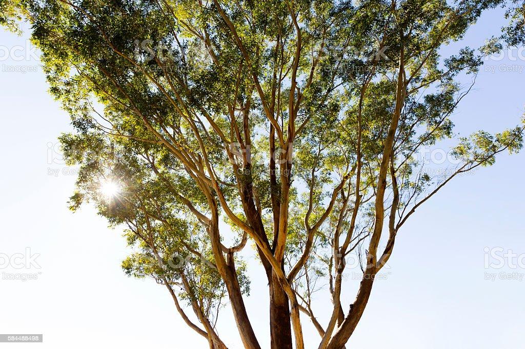 Eucalyptus tree in sunshine, Australia, copy space stock photo