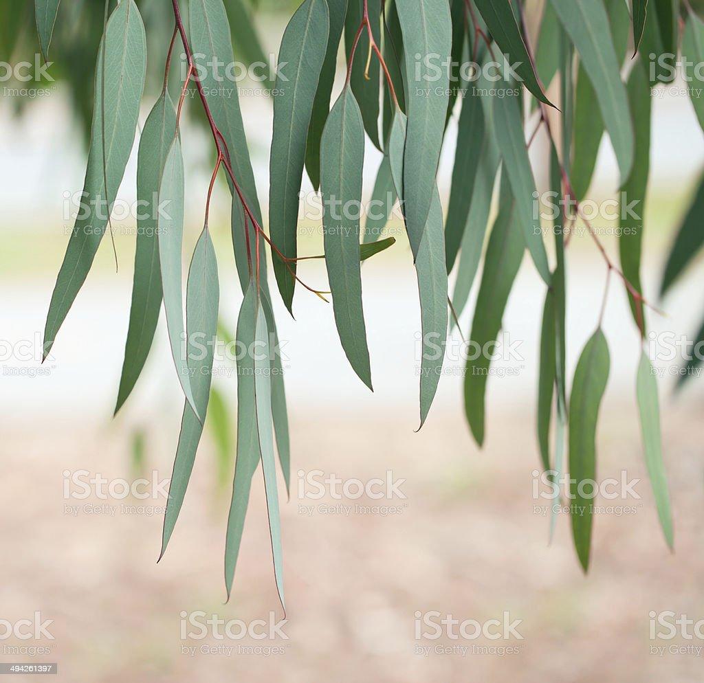 Eucalyptus tree leaves stock photo