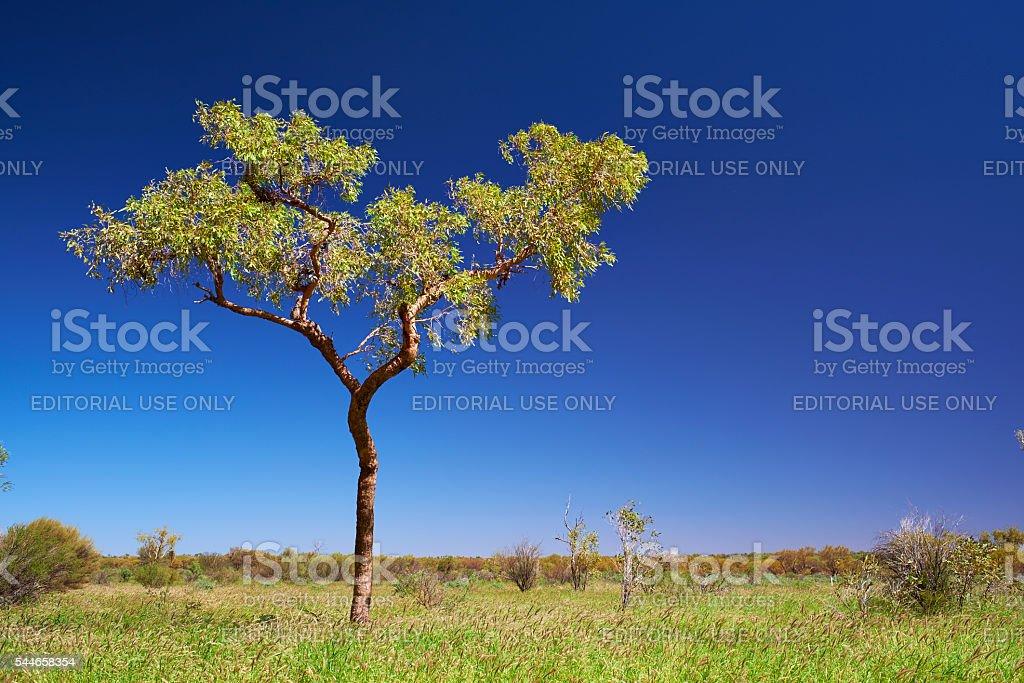 Eucalyptus Tree Near Uluru stock photo