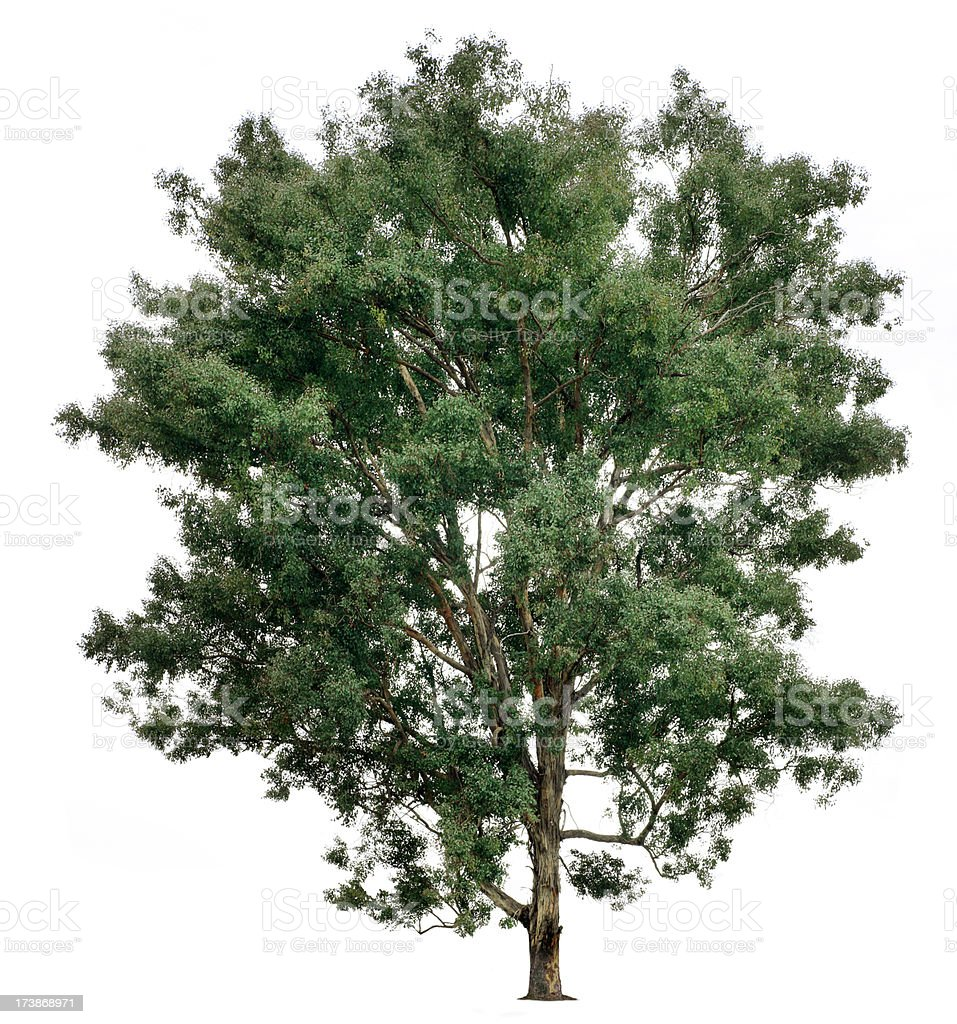 Eucalyptus Tree royalty-free stock photo