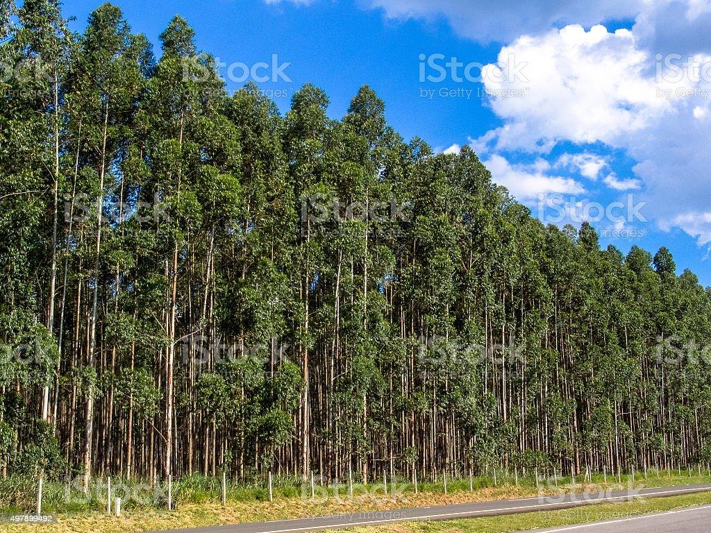 eucalyptus tree stock photo