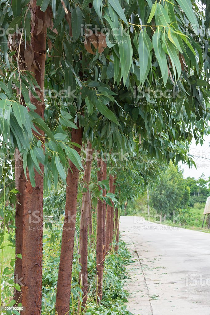 Eucalyptus tree stock photo