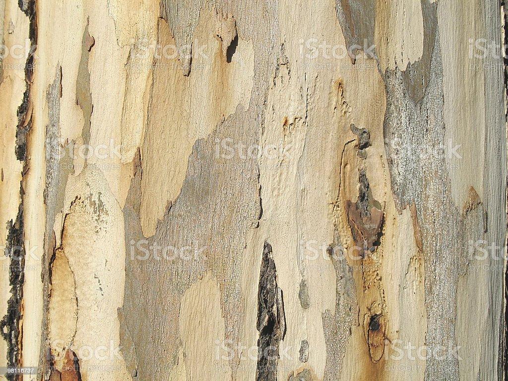 eucalyptus tree texture stock photo