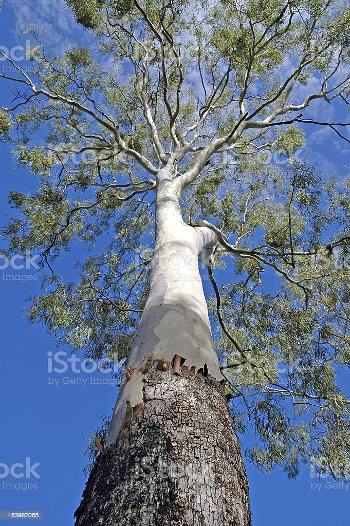 Eucalyptus Tree with Cicada Molts, Australia royalty-free stock photo