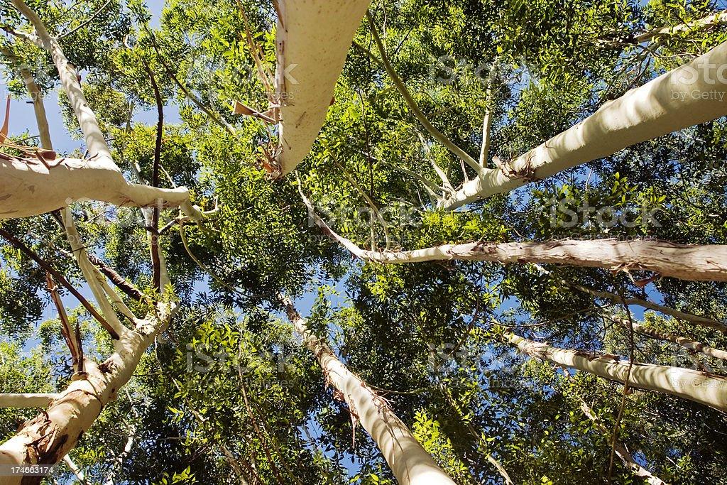 Eucalyptus Trees against Sky royalty-free stock photo