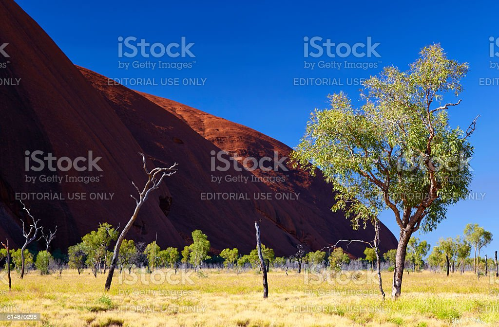 Eucalyptus Trees And Uluru stock photo