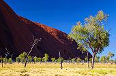 Eucalyptus Trees And Uluru