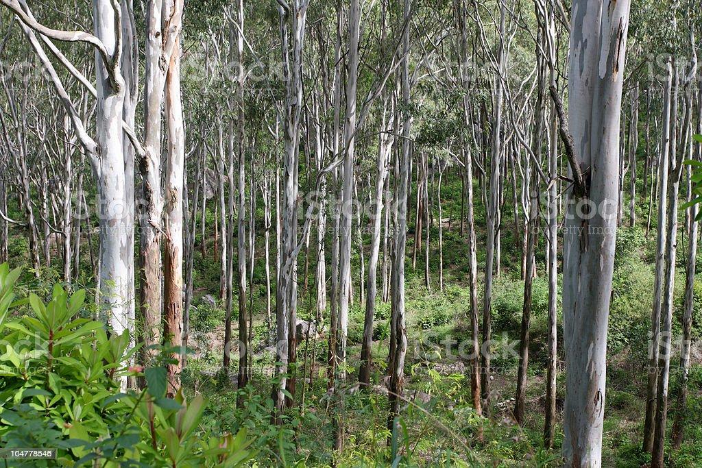Eucalyptus trees royalty-free stock photo