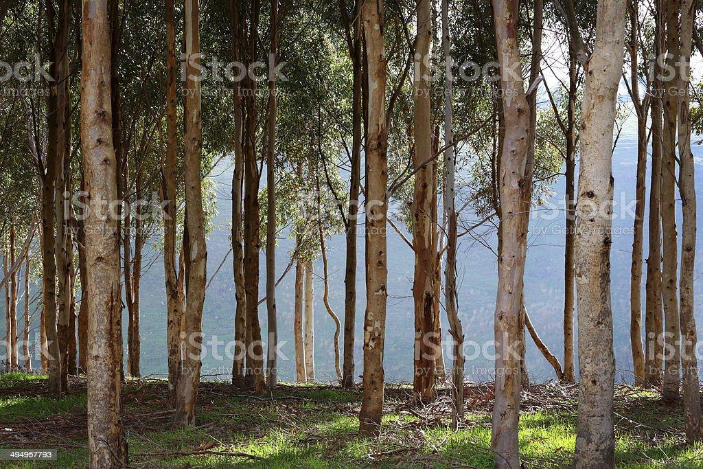 Eucalyptus Trunks stock photo