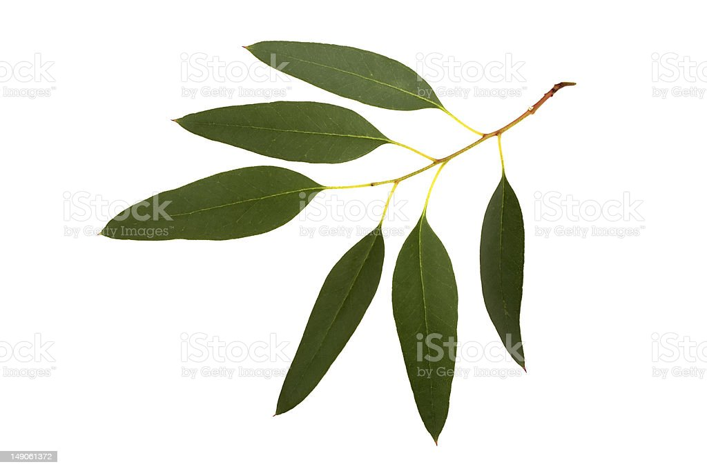 Eucalypyus leafes on a small branch royalty-free stock photo