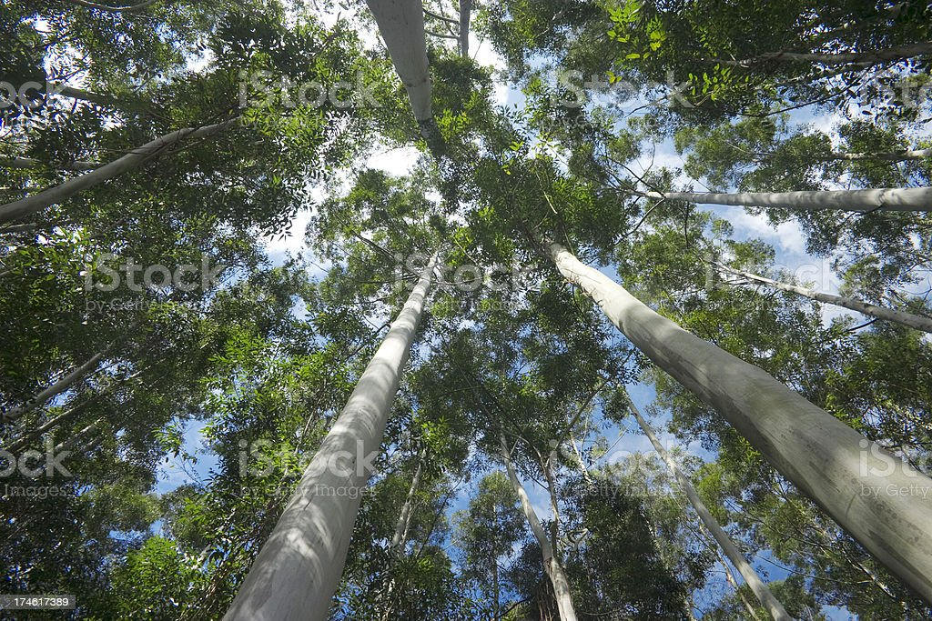 eucalytpus forest stock photo