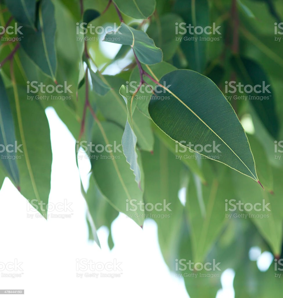 Eucalytus tree branch stock photo