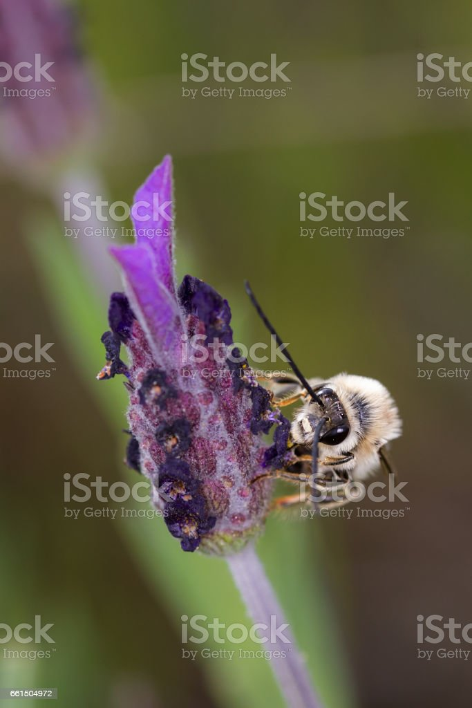 Eucera longicornis stock photo