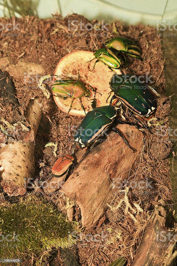 Eudicella Gralli stock photo