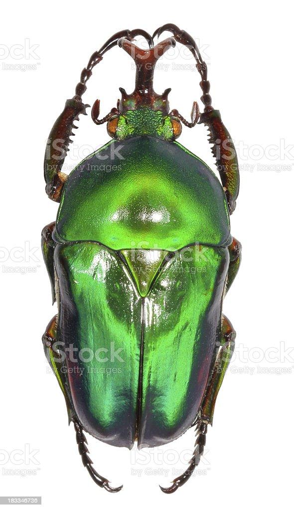 Eudicella jewel beetle isolated on white stock photo