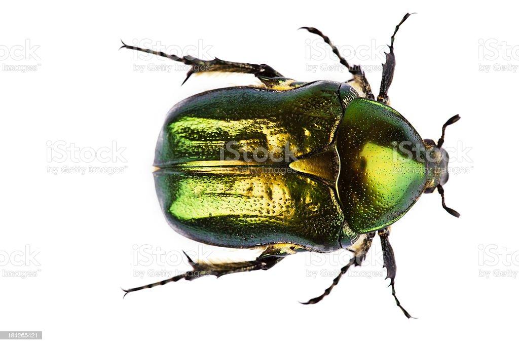 Eudicella jewel beetle isolated on white royalty-free stock photo