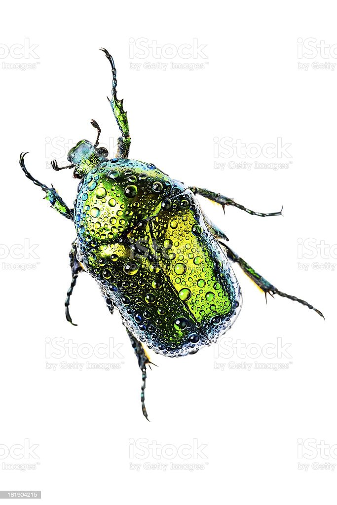 Eudicella jewel beetle isolated on white with drops of water. stock photo