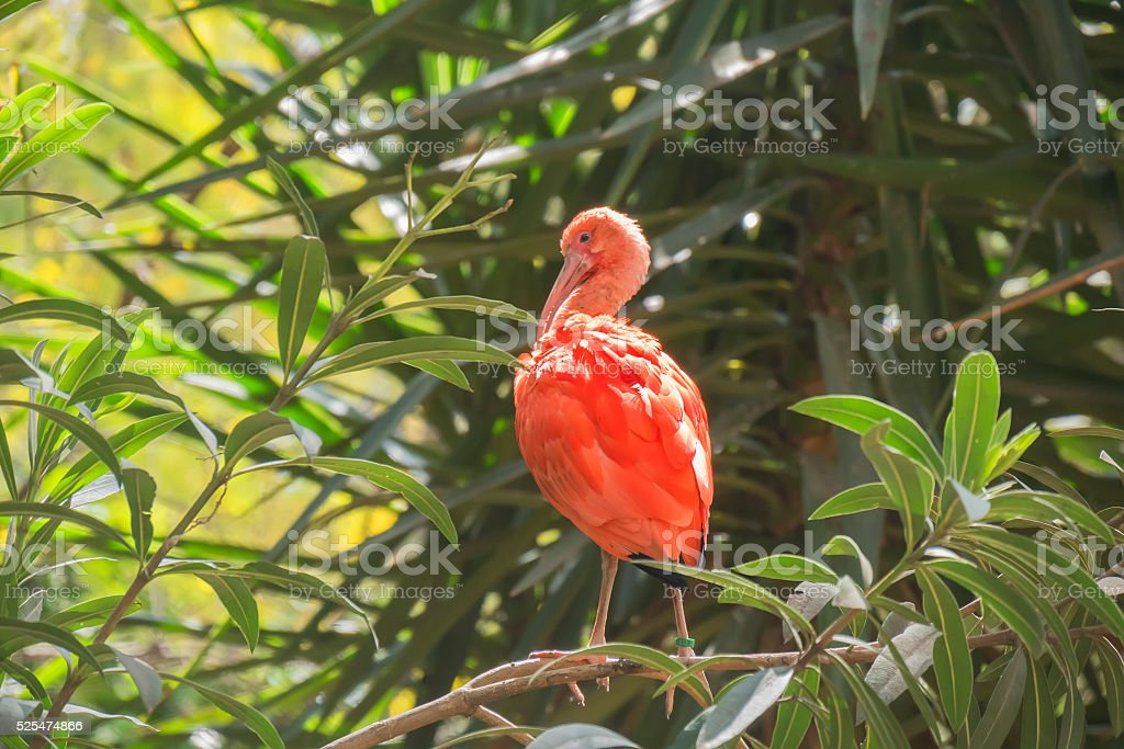 Eudocimus ruber, Scarlet ibis stock photo