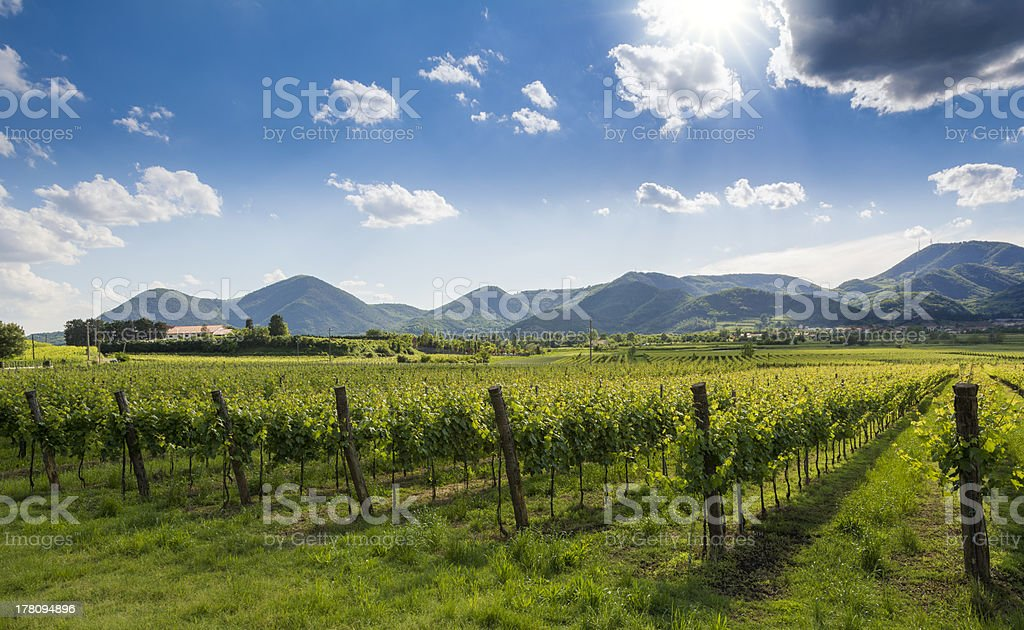 Euganean Hills, cultivation of the wine stock photo
