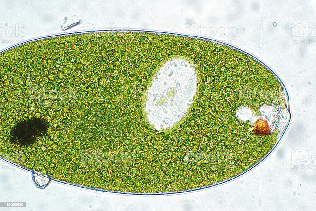 Euglena Photomicrograph royalty-free stock photo