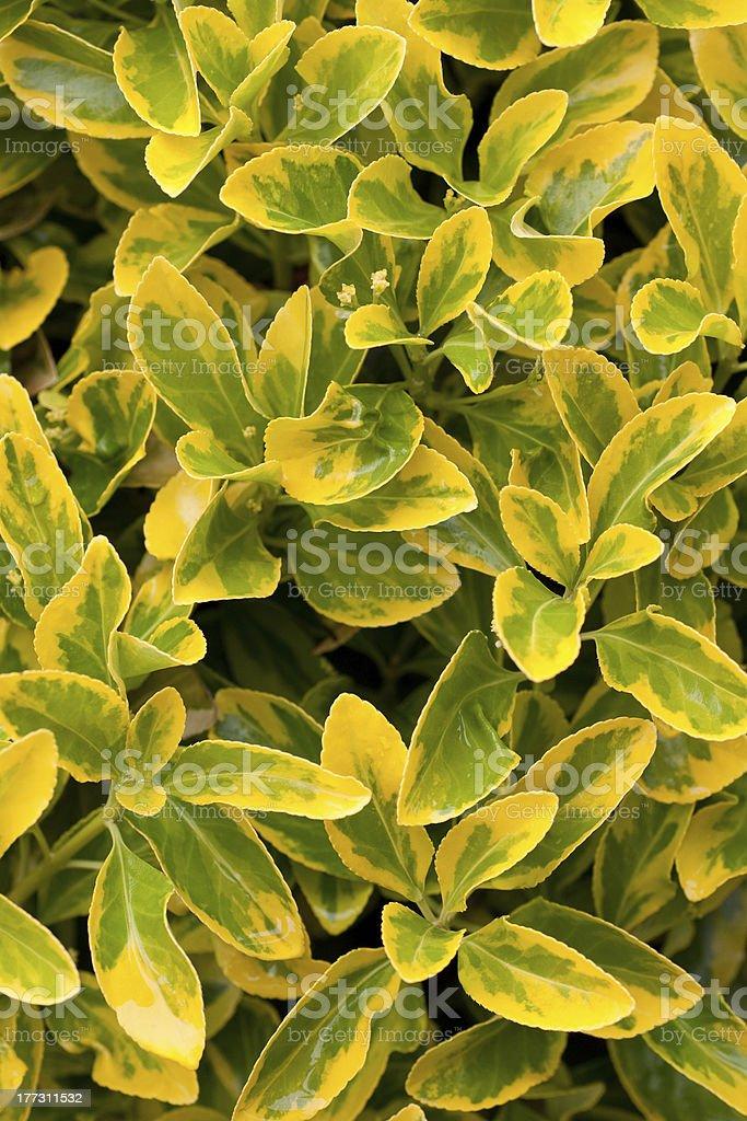 euonimus aurea royalty-free stock photo