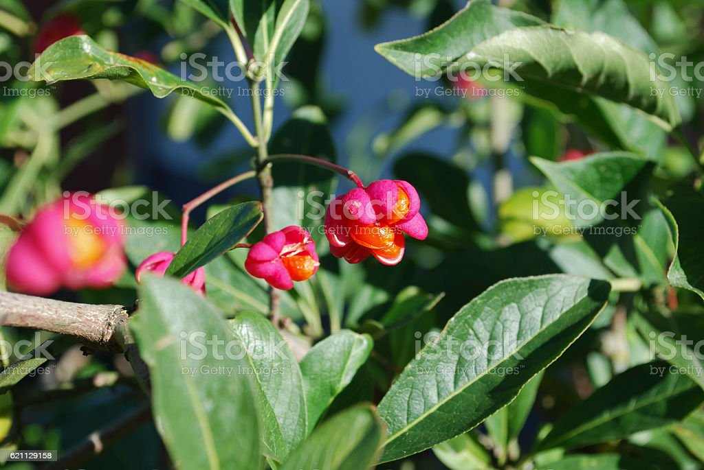 Euonymus europaeus blossoming. stock photo