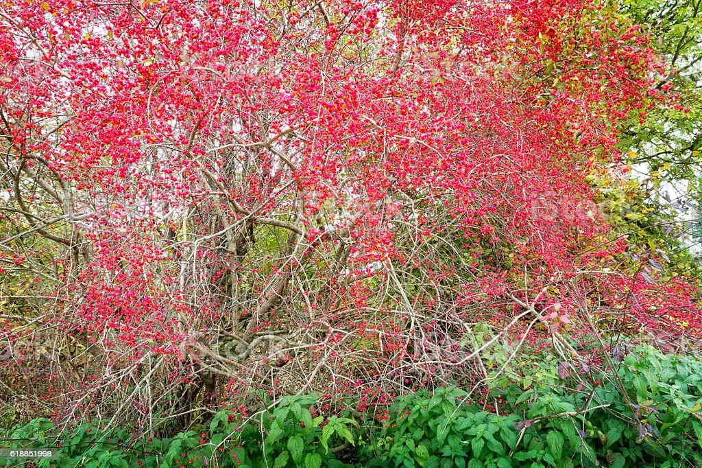 Euonymus europaeus plant with fruits in autumn stock photo