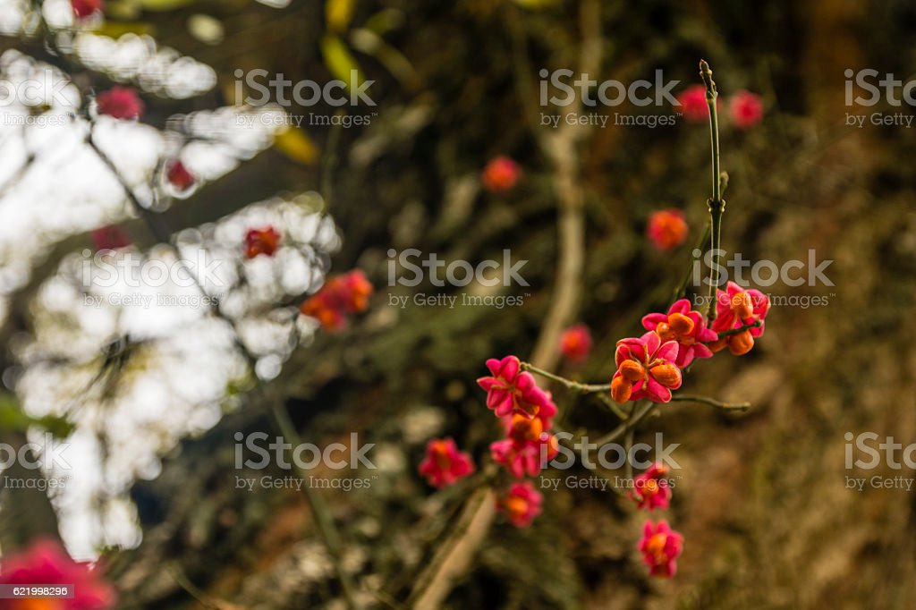 Euonymus europaeus (spindle, European spindle, common spindle) - Ripe fruit. stock photo