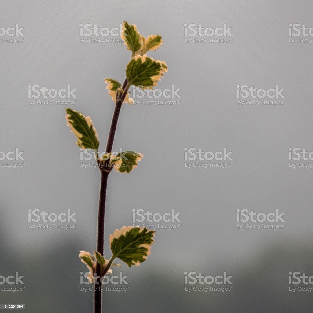 Euonymus fortunei stock photo