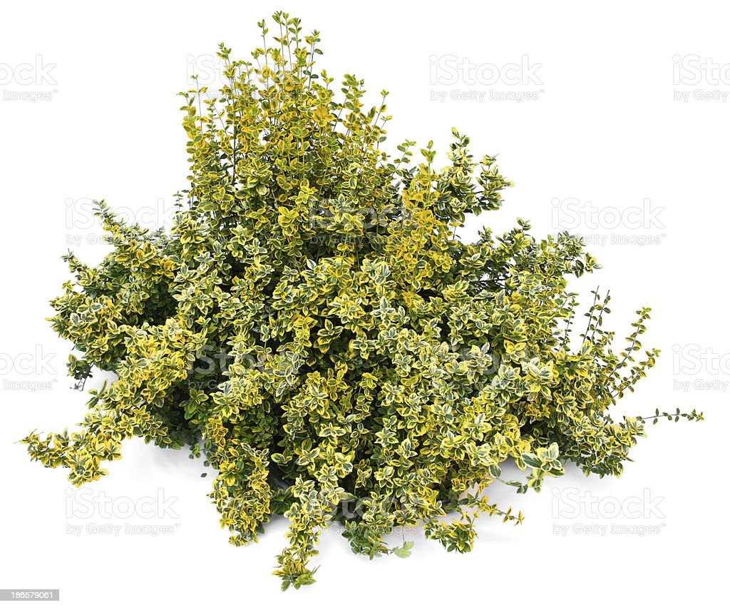 Euonymus stock photo