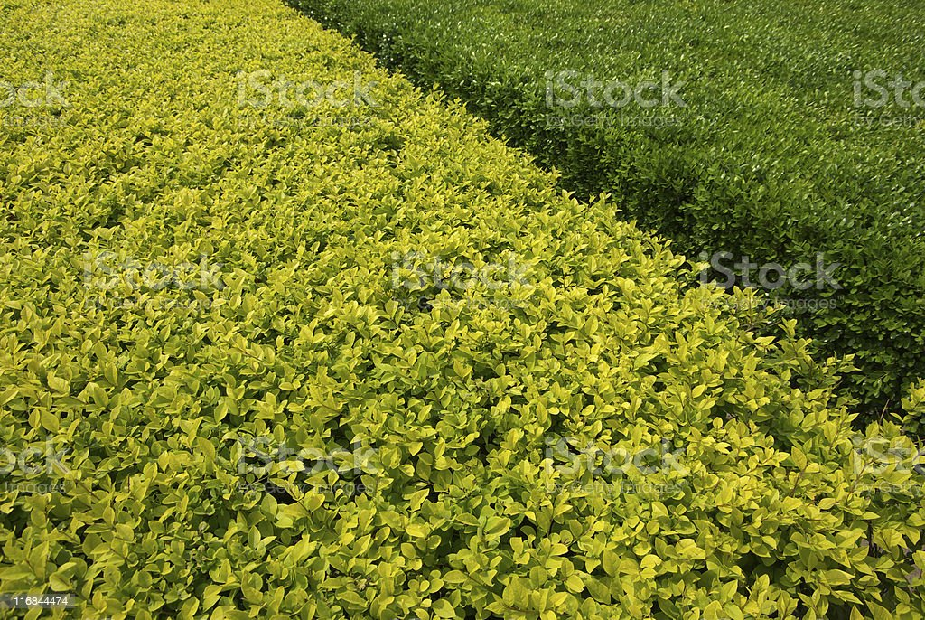 Euonymus Zone stock photo